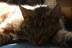 Neelix the Cat. (PhotoTJH) Tags: pet male eye animal cat nose mackerel grey kat feline european pattern tabby shorthair huisdier kater grijs oog neus europese patroon makreel korthaar neelix cyper cyperse phototjh phototjhnl