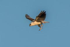Sky Dancer (BlueberryAsh) Tags: kite nikon raptor birdinflight australianbird blackshoulderedkite werribeetreatmentplant tamron150600