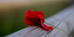 Solo. (claudia aquarius) Tags: verde bokeh poppies di campo fiori rosso papaveri spontanei