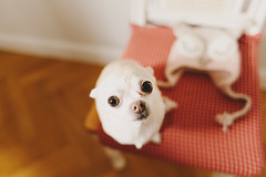Look at me (Yuliya Bahr) Tags: red dog pets white chihuahua home up look nose eyes sweet smalldogs allday