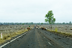 rolleston country - on the long paddock... (Fat Burns  (on/off)) Tags: landscape cattle drought droving outbackqueenslandaustraliaoutbackherdofcattlleoutbac outbackqueenslandaustraliaoutbackherdofcattlleoutbackherdofcattlrthelongpaddocknikond800nikon2401200mmf40