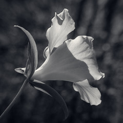 Beside a Trillium (Revisited) (JeffStewartPhotos) Tags: trillium flower blossom bloom blooming spring springtime blackandwhite blackwhite bw toned