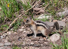 Golden-mantled Ground Squirrel (FocusedOnNature.com) Tags: yellowstone goldenmantledgroundsquirrel