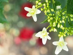 under the sun (kokemomiji) Tags:          hydrangea chinapink white green red bokehballs olympus omd em1 mzuiko 60mm f28 macro
