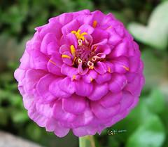 Flower (radhkrishna) Tags: flowers flower nature beauty flora