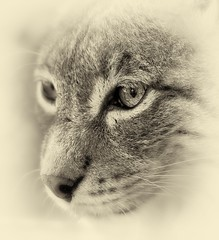 In the Eye of the Lynx / Im Auge des Luchses (W_von_S) Tags: wild eye monochrome animal sepia bayern bavaria outdoor sony auge lynx tier werner schrfentiefe wildpark poing luchs ebersberg einfarbig wildtier wvons alpha7rm2 imaugedesluchses inhteeyeofthelynx
