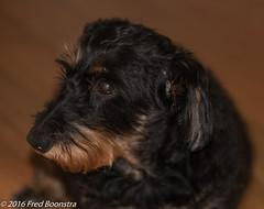 IMG_9225 (arina23111963) Tags: dog dachshund doxie bassotto worshond wirehairdachshund  gravhund wirehaireblackandtandachshund ducje dachshundslove