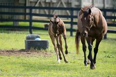 DSC_7185 (nickelcreek06) Tags: nikon kentucky sigma thoroughbred foal sigmalens d7100 woodfordthoroughbreds xtraheat