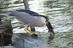 Catch of the day (Laura Rowan) Tags: fish bird heron fishing birding elmhurst blackcrownnightheron