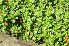 Scarlet Pimpernel (pecooper98362) Tags: flowers summer newyork ithaca botanicalgardens cornelluniversity anagallisarvensis scarletpimpernel tinyflowers cornellplantations scarletblossoms damdelusivepimpernel robinsonnewyorkstateherbgarden