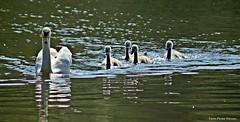 ...Mutterglck (peterphot) Tags: juni wasser wildlife sony natur swans sachsen schwan waterbirds