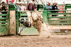 """""""This is bull!"""" (Blue Trail Photography) Tags: wild canada west animal sport grande cowboy outdoor north bull riding alberta rodeo prairie buck bucking stompede"""