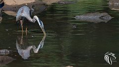 Great Blue Heron at Swimming River Reservoir - 4 (RGL_Photography) Tags: heron nature birds us newjersey unitedstates wildlife monmouthcounty middletown jerseyshore ornithology birdwatching mothernature greatblueheron gardenstate ardeidae wildlifephotography swimmingriverreservoir nikond500 nikonafs200500mmf56eedvr