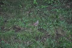 Bilateral Gynandromorph Cardinal 19 (Gary Storts) Tags: cardinal gynandromorph gynadromorph orninthology birdwatching birds cardinalis northerncardinal cardinaliscardinalis