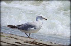 DSCN9806 (DianeBerky19) Tags: beach seagull gulls nikoncoolpixp900