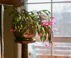 Schlumbergera (i-lenticularis) Tags: analogphotography 115 schlumbergera f13 portra160 mediumformatfilm filmisnotdead analoguephotography manilovefilm p67ii p67105f24 commercialdevscan mayjun2016 31may2016