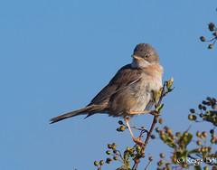 Elle pose pour moi... (Régis B 31) Tags: commonwhitethroat fauvettegrisette passériformes sylviacommunis sylviidés ariège bird domainedesoiseaux mazères oiseau explore