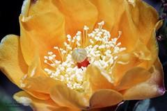Cactus flower 5 (gorrarroja) Tags: espaa flower macro valencia spain flor macrophotography macrofotografa