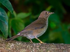 SABIA-UNA fmea (Turdus flavipes) (Dario Sanches) Tags: ave passaro natureza brasil registro valedoribeira sabiauna turdusflavipes femea