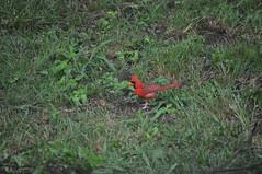 Bilateral Gynandromorph Cardinal 05 (Gary Storts) Tags: cardinal gynandromorph gynadromorph orninthology birdwatching birds cardinalis northerncardinal cardinaliscardinalis