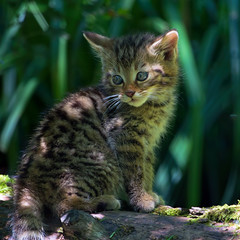 Life is a jungle (FocusPocus Photography) Tags: animal cat kitten feline chat gato katze wildcat tier tripsdrill felissilvestris wildparadies wildkatze