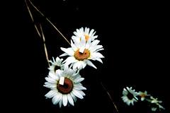 Daisies at Mount St. Helens (Emily Kistler) Tags: d750 mountain np nationalpark nature nikon outdoors pacificnorthwest parkmountsthelens vacation volcano washington daisy usa unitedstates america wildflowers flower plants