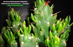 "Austrocylindropuntia Subulata Dwarf Monstrose variety ""GUMBY"" (Pic #3) (mattslandscape) Tags: christmas cactus tree art cacti dwarf needle pokey gumby eves kakteen gumbi clokey subulata austrocylindropuntia monstrose"