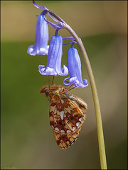 Pearl-bordered Fritillary (Grasping-air) Tags: