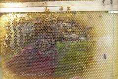 bees (gregork.) Tags: spring bee maj čebela 2013 pomlad mozirje mozirskigaj živali
