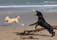 Fun on the beach (Hairy Caterpillar) Tags: toby labrador cross norfolk terrier murphy staffy druridgebay