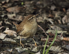 The wrens (Vab2009) Tags: bird wing beak feather wren troglodytestroglodytes