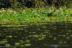 DSC01831 (Mario C Bucci) Tags: verde brasil do sopaulo eduardo gara tuiuiu dinan anhembi bigua banhado rato anhambi tanqu tanquan