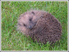 Hedgehog 27 (Magic Moments by Pippa) Tags: nature wildlife british mammals hedgehogs