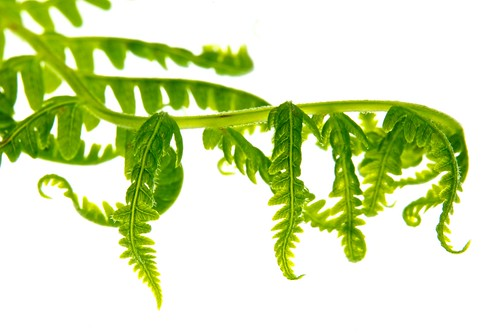 Fern on White