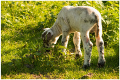 Springtime (13) (H. Bos) Tags: haven nature grass animal sheep natuur lamb gras lente sheeps dier lam springtime almere schapen schaap lammetje littlelamb waterlandsebos