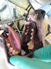 Jill dentistry (Rayya The Vet) Tags: dog vet canine anaesthetic geriatric terriercross healthcheck vetdentistry