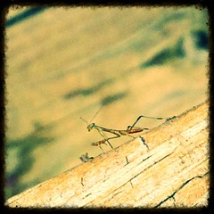 Baby Praying Mantis (bunnymom1970) Tags: prayingmantis uploaded:by=flickrmobile flickriosapp:filter=nofilter