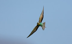 Another Bee-eater - well I did go specially to photograph them!