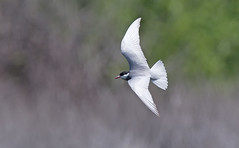 Whiskered Tern - beautiful shimmering two-tone back