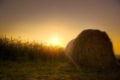 SUMMER FIELD (T K Hummel) Tags: field yellow germany sonnenuntergang natur felder