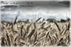 Weizen 5_HDR (peter pirker) Tags: canon landscape austria österreich feld kärnten carinthia makro landschaft dri hdr dynamik weizen seeboden peterfoto eos550d peterpirker peterprirker