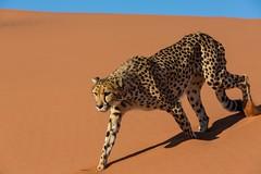 20130616_Namibia_Kiki_at_Dunes_0163.jpg (Bill Popik) Tags: africa kiki mammals namibia cheetahs 2places 3animals africancats