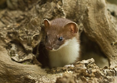Stoat_2995 (Peter Warne-Epping Forest) Tags: uk nature canon mammal wildlife ngc stoat mustelaerminea