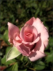 (Tölgyesi Kata) Tags: rosen rose rózsa rózsakert rosegarden tuzsonjánosbotanikuskert botanikuskert botanicalgarden withcanonpowershota620 rosa flower rosier blossom fleur virág