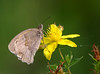 Meadow Brown (Mr Grimesdale) Tags: butterfly butterflies meadowbrown stevewallace britishbutterflies mrgrimesdale