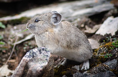 Pika, Moraine Lake, Bow Valley, Alberta, Canada (goneforawander) Tags: road park travel lake canada nature landscape nikon scenery wildlife louise alpine national backpacking alberta valley parkway bow banff moraine pika d90 goneforawander improvementdistrictno9 enzedonline