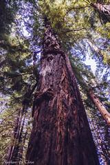 DSC07522 (Nateway) Tags: california statepark tree film nature beautiful cali forest landscape big hiking sony central bigsur hike huge redwood lightroom nex landscapephotography vsco sonynex nex7 sonynex7 vscopreset
