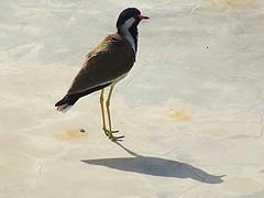 1IMG_3291 RED LAPWING AND ITS SHADOW (Rajeev India (THANKS for views, comments n faves)) Tags: shadow red its lapwing and