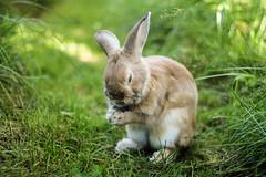 pray today (Cinnamon the Bun) Tags: cute rabbit bunny bunnies nature adorable rabbits aw