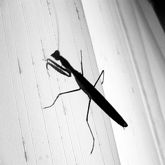 bitxo in the room (Explore 2013-10-17) (ines valor) Tags: bw cortina mantis bitxo religiosa